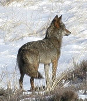 Coyote Wild Online Magazine