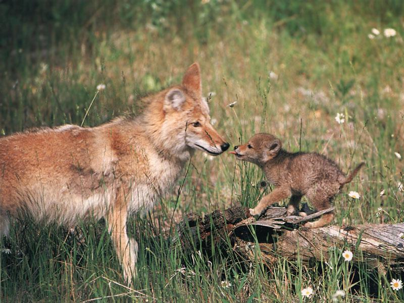 Coyote Wild Online Magazine  Coyote